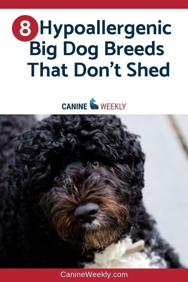 Makeup And Age Dog Breeds That Dont Shed Hypoallergenic Dogs Large Large Dog Breeds