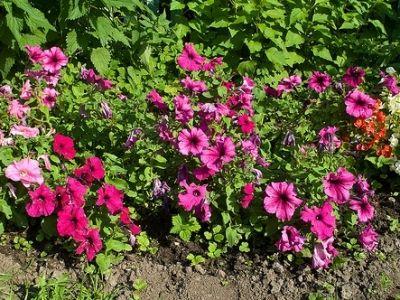 20 best petunias images on pinterest geraniums petunias for Gardening 101 lara casey