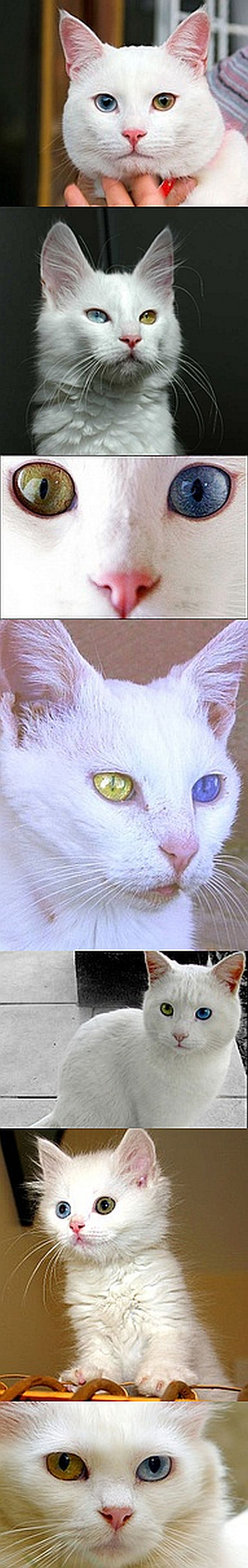 Real - The Van cat(Not to be confused with Turkish Van or Turkish Angora.) is a distinctive landrace of domestic cat found mainly in the Lake Van region of eastern Turkey. It is large, all-white, and frequently odd eyed. The naturally occurring Van cat type is the basis of the Turkish Van breed, internationally selectively bred with a more recently developed ruddy colouring pattern on the white, as standardised and recognised by many cat fancier organizations. #cats
