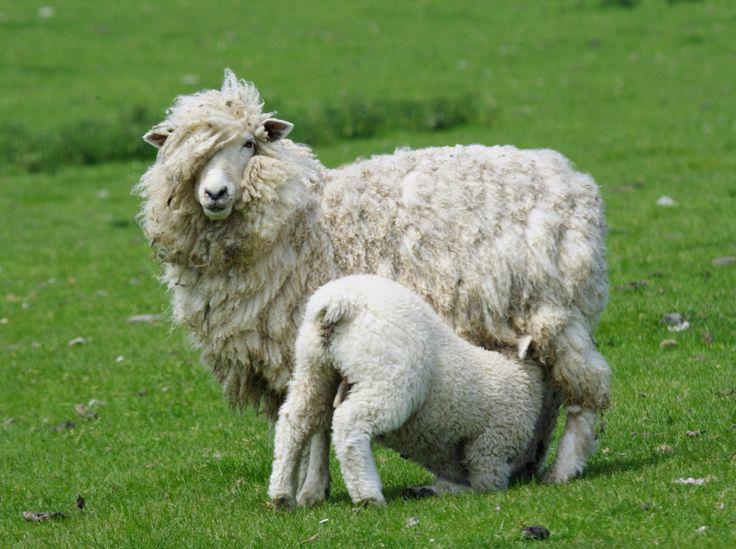 So cute when the lambs are feeding