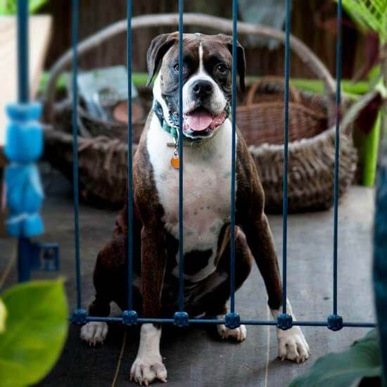 Boxer owners often say that once you own a boxer, you'll never own another breed. They love this handsome dog as much for its goofy, friendly personality as they do for his cute pushed-in face