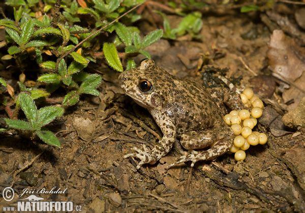 Ropuška starostlivá (Alytes obstetricans) - sameček nosí šňůrku s vajíčky zadních nohách, pravidelně je namáčí ve vodě, nakonec se v kaluži líhnou pulci