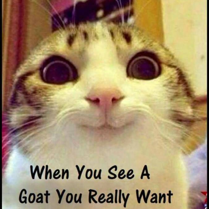 When you see a goat you really want