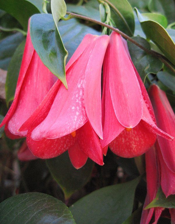 Lapageria rosea, Chilean bell flower. Flowering vine native to Chile. There are also pink and white forms.