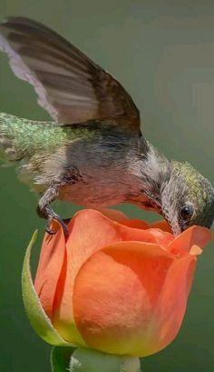 クロハラトゲオハチドリ Black-bellied thorntail (Discosura langsdorffi, Popelairia langsdorffi)