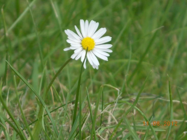 Daisy - My Photography