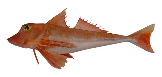Gurnard, Red | Marine Conservation Society