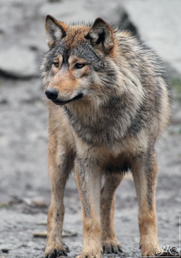 Wolves remind the elders among us to always stand vigilant - even when the younger ones are far away and are not remembering. They hold the beacon.