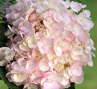 <3 Endless Summer Blushing Bride .. hydrangea. Removing spent flowers are all the pruning it needs.