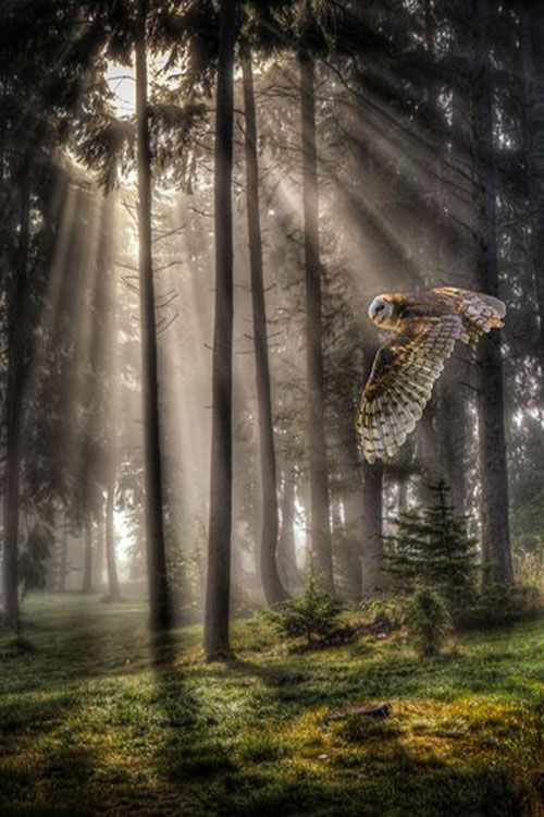 ♂ Bird Owl mist forest by: John Mattatall