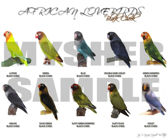 African lovebirds with name - photo#1