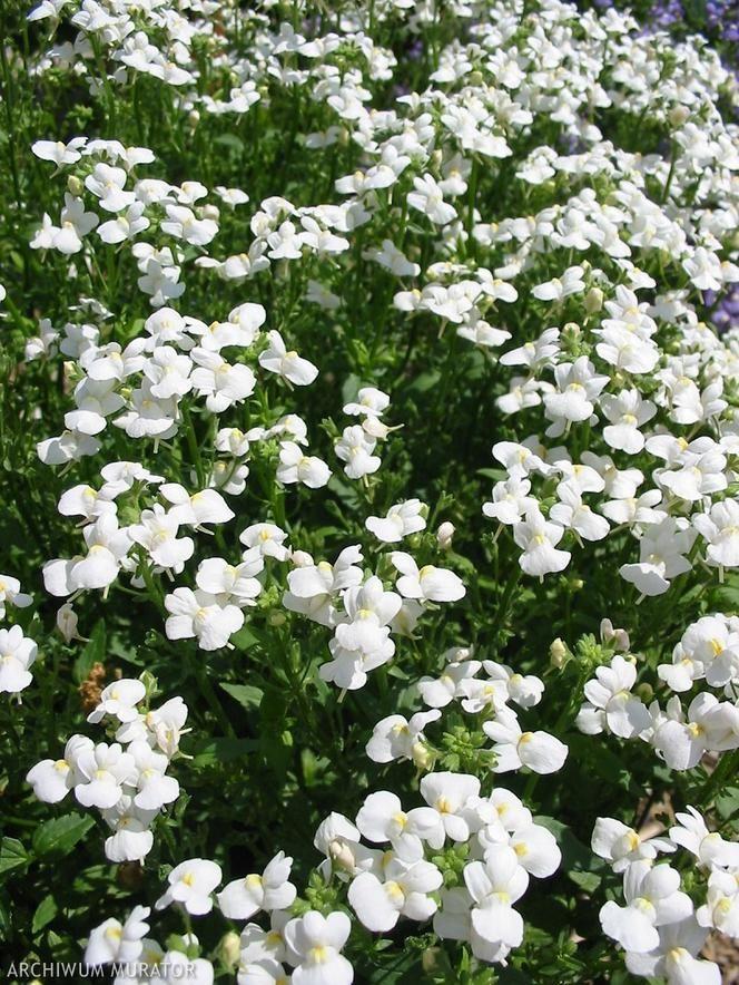 Kwiaty Balkonowe Plants
