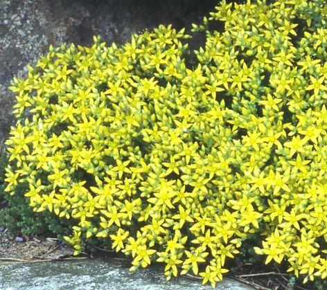 Keltamaksaruoho - Sedum acre