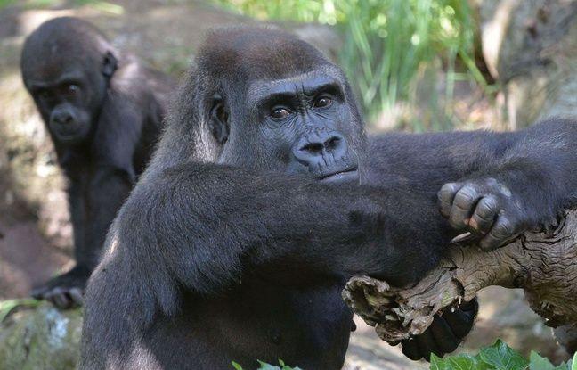 VIDEO. Gorille abattu au zoo de Cincinnati: Y avait-il d'autres solutions?