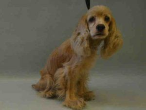 PETUNIA PULLED BY ABANDONED ANGELS COCKER SPANIEL RESCUE💗💗 – A1124925 - URGENT MANHATTAN -   FEMALE, TAN, COCKER SPAN MIX, 5 yrs STRAY – STRAY WAIT, NO HOLD Reason STRAY Intake condition UNSPECIFIE Intake Date 09/09/2017, From NY 11436, DueOut Date 09/12/2017, I came in with Group/Litter #K17-110805.  Medical Behavior Evaluation BLUE Medical Summary DVM Intake Exam Estimated age: 5