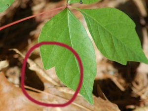 Pictures of Poison Ivy: The poison ivy leaves in the picture happen to be notched, but you cannot rely on this for identification: the foliage will often lack this feature.