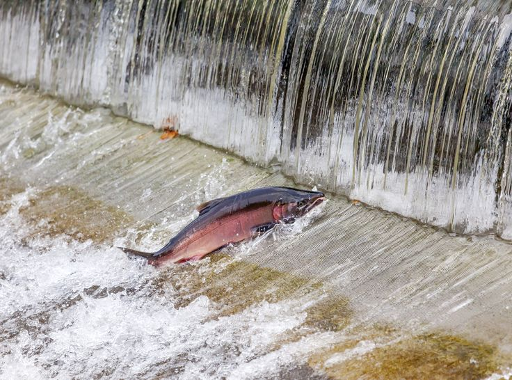 California's native salmon populations are declining due to habitat loss and climate change, but with a little help, dozens of species could be preserved.
