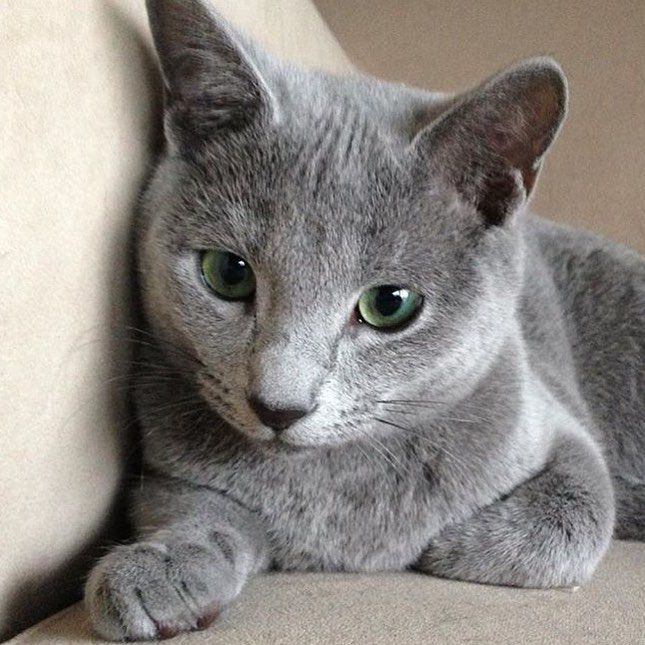 Best 10+ Russian blue cats ideas on Pinterest | Russian ...