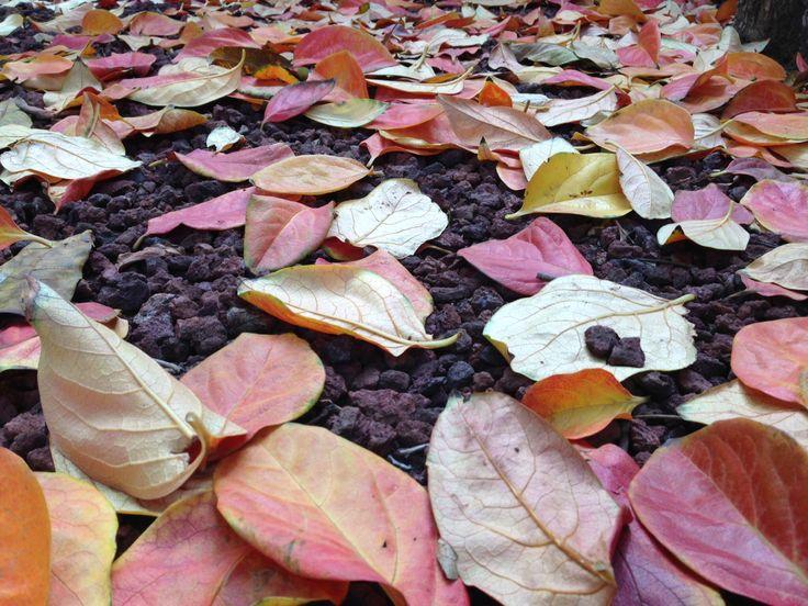 Persimmon leaves in Autumn. Photo, Tania Cavaiuolo