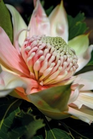 A gorgeous pink waratah flower.