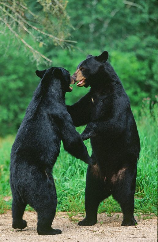 "llbwwb: ""Two Black Bears Play Fighting Or Dancing? ;-) (by AlaskaFreezeFrame) """