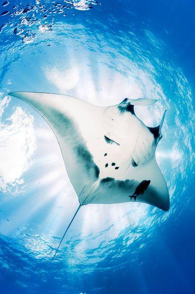 Un photographe spécialisé dans les clichés sous marins est parvenu à photographier une raie manta de sept mètres d'envergure.
