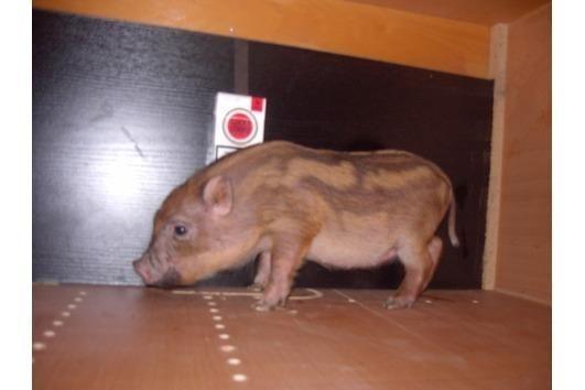 Minischweine und Microschweine Saarland