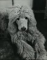1949 Press Photo Poodle - mjx28704