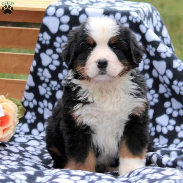 Andy Stoltzfus Has Bernese Mountain Dog Puppies For Sale In Christiana Pa On Akc Puppyfinder In 2020 St Bernard Dogs Bernard Dog Saint Bernard Dog