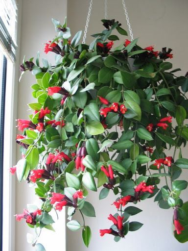lipstick plant  http://www.gardeningknowhow.com/houseplants/lipstick-plant/growing-lipstick-plants.htm