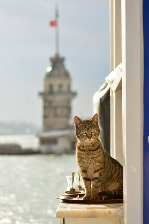 Istanbul's handsome kitty and Maiden Tower - Turkey