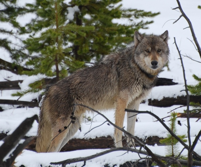 10 best wolves i have known images on pinterest a wolf wolves wolf near gardner river yellowstone publicscrutiny Image collections