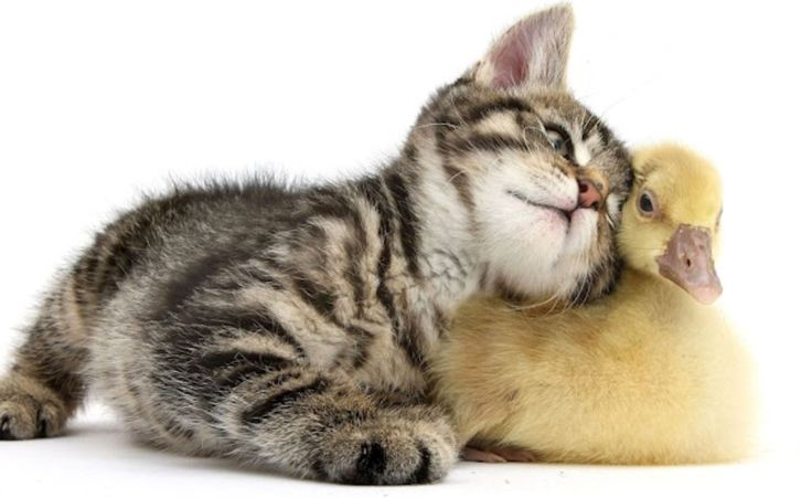 Two love birds but instead a kitten and a duck