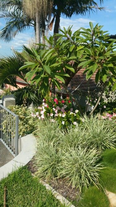 Frangipani and dipladenia with varigated mondo in front
