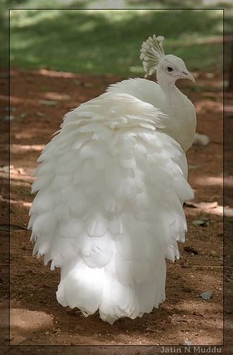 A beautiful white Peacock.