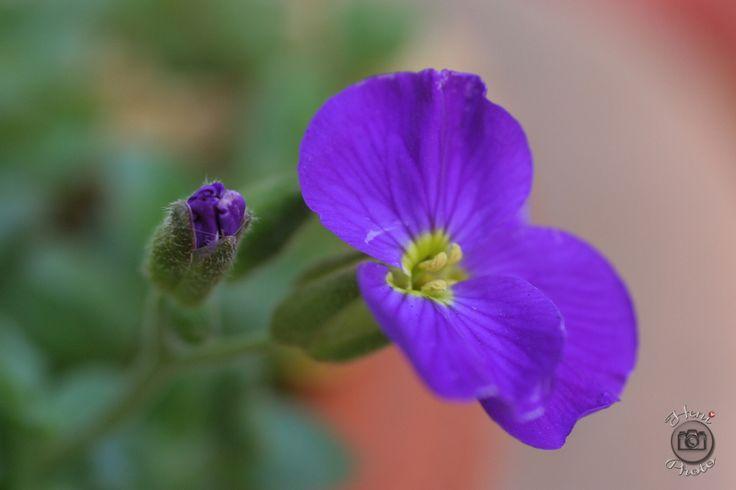 Lila virág