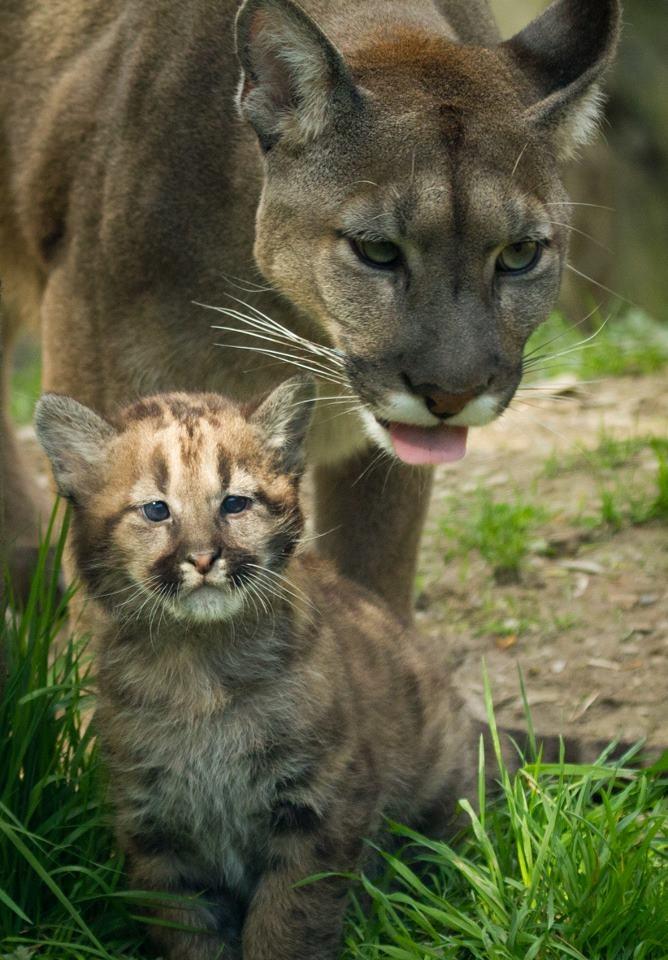 Best Way To Find A Cougar