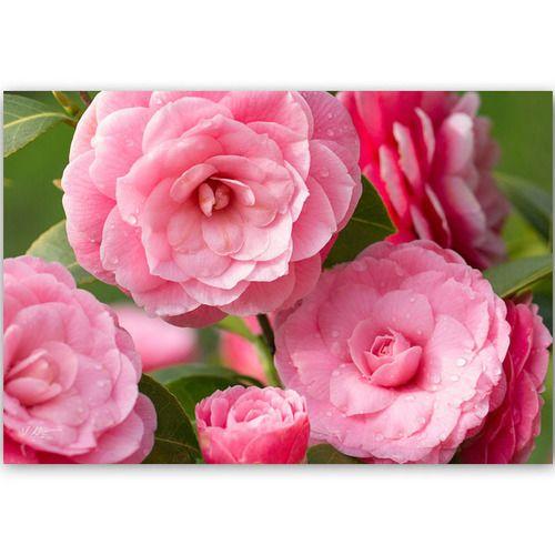 Carte Postale Photo Fleurs De Camelia Visiter