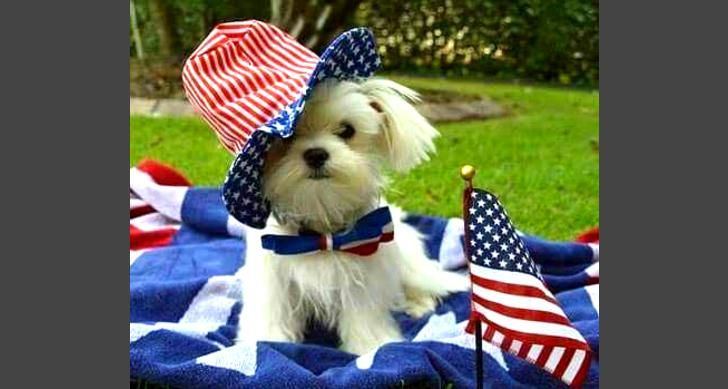 25 Dogs Who Love America Way More Than You Slide 36 Pawsome Teacup Puppies Maltese Maltese Dogs Maltese Puppy