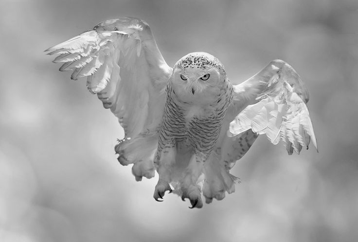 To Fly by Stefano Ronchi, via 500px - Silently,gracefully, but powerfully, the snowy eagle lands, intent on the hunt.   If a photographer could have done this better, then I will be completely amazed as I don't think this can be matched.
