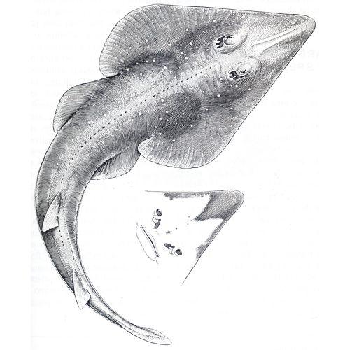 E. N. Fischer - Rhinobatos percellens. Tinta-da-china s/ papel Bristol