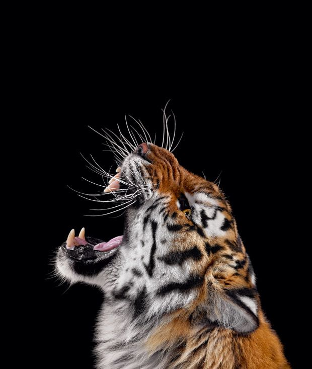 Tierfotografie: Zähne zeigen, Tiger! – Veronique Kitiratschky