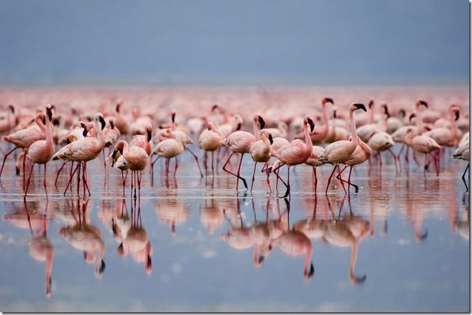 flamingos as far as the eye can see ... forefront, blurred and reflected