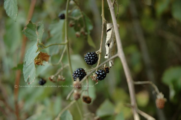 #more #blackberries #bosco #natura