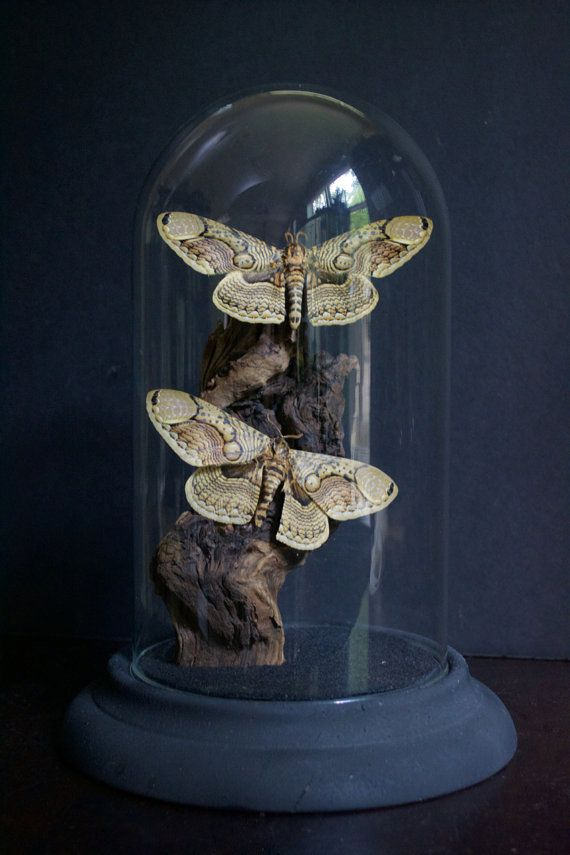 Brahmin Owl Moth Glass Dome Display by TheButterflyBabe on Etsy