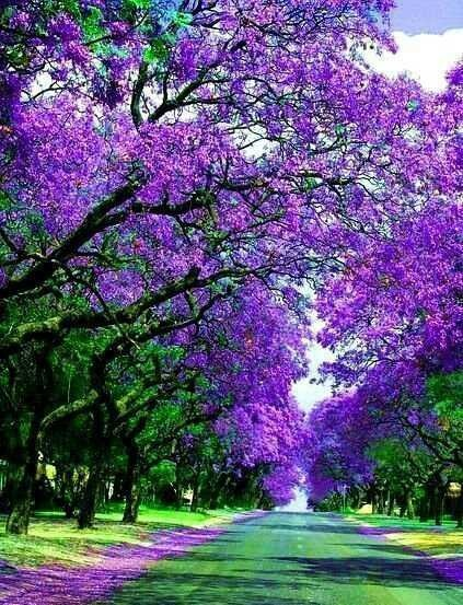 Early Spring Jacaranda trees are beautiful in October