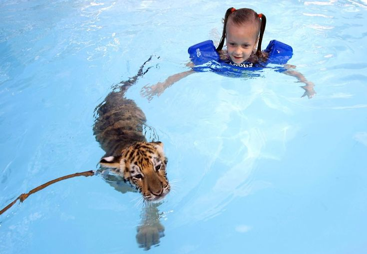 Sylvia Hatfield (5) swims with a 10-week-old tiger, in Dade City, Florida. The Dade City Wild 'Things' Animal Park is encouraging families to bring their young children to swim with its tigers for a $200 treat.