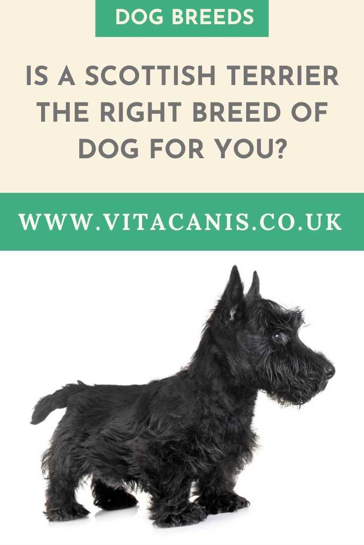 Is A Scottie The Dog For You Vita Canis Is A Scottie The Dog