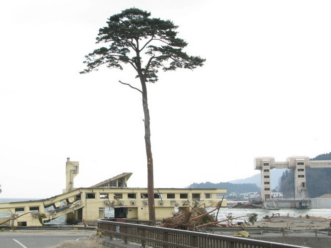 Tree of hope - survived Japanese tsunami