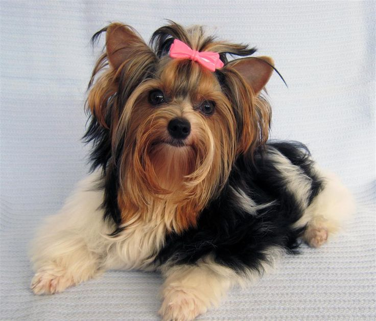 9 Best Types Of Yorkies Traditional Amp Exotic Images On